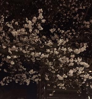 夜桜_c0039501_09244418.jpeg