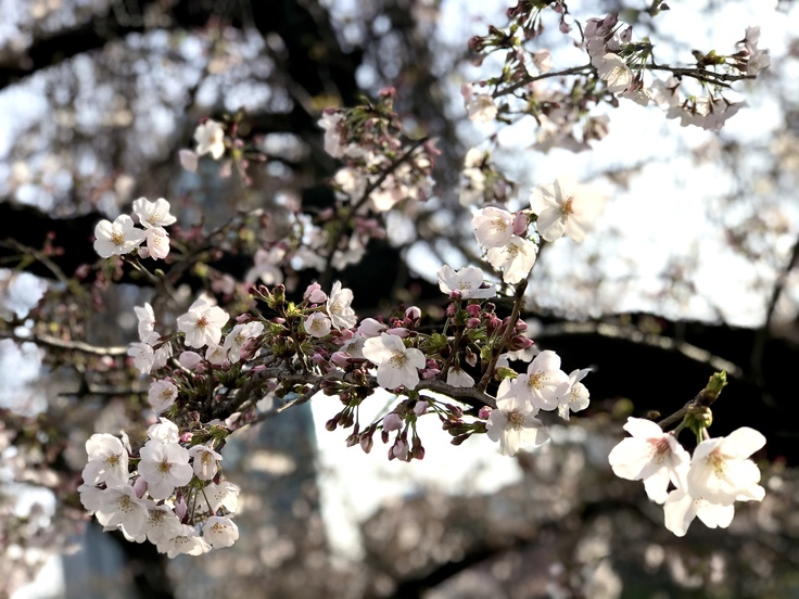 桜さくら_c0212604_1922263.jpg