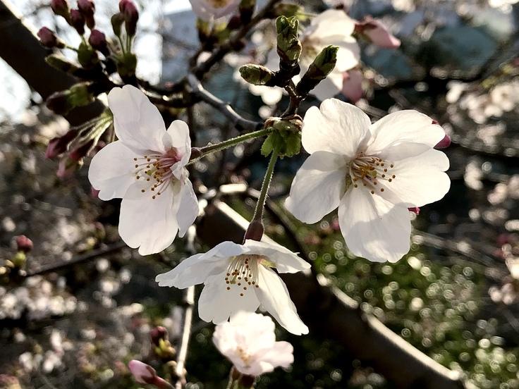 桜さくら_c0212604_1923397.jpg