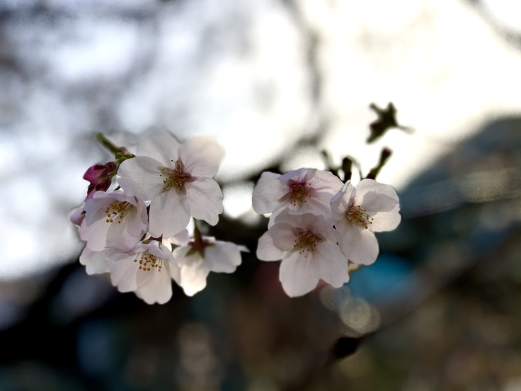 桜さくら_c0212604_19244329.jpg