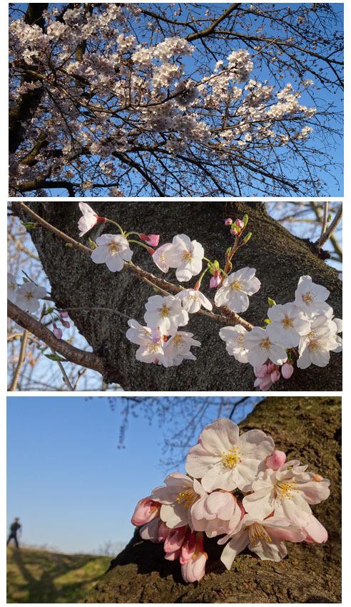 桜咲いた・孫達の帰国・墓参り_c0051105_00400962.jpg