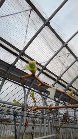 ぶどう、芽吹き始めました。_d0026905_22282594.jpg