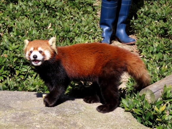 大牟田市動物園と福岡市動物園の旅行記を姉妹ブログ「レッサーパンダ紀行」にアップしました_e0400609_22572912.jpg