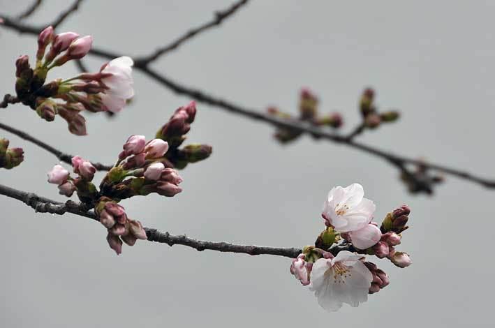 2020.03.22 桜も咲き始めた_c0016718_15061712.jpg
