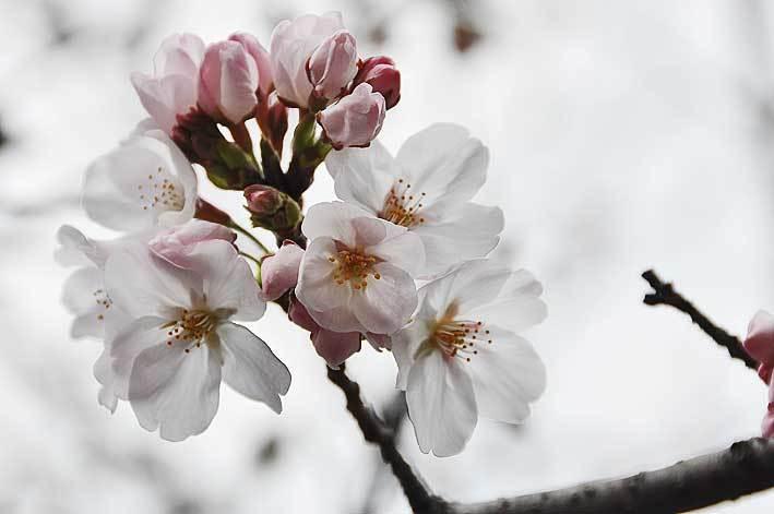2020.03.22 桜も咲き始めた_c0016718_15061779.jpg