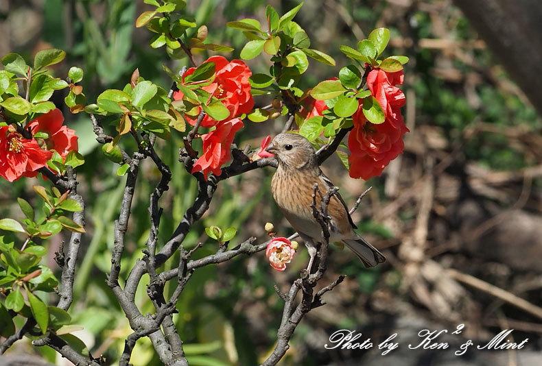 ベニマシコ三昧♪ジョウビタキさんも♪沢山の鳥さんと遊べました^^_e0218518_20264133.jpg