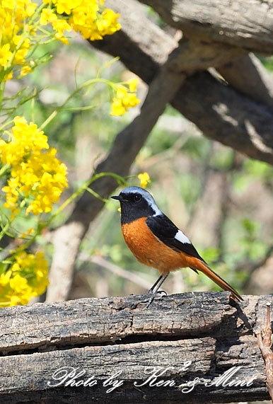 ベニマシコ三昧♪ジョウビタキさんも♪沢山の鳥さんと遊べました^^_e0218518_20295048.jpg
