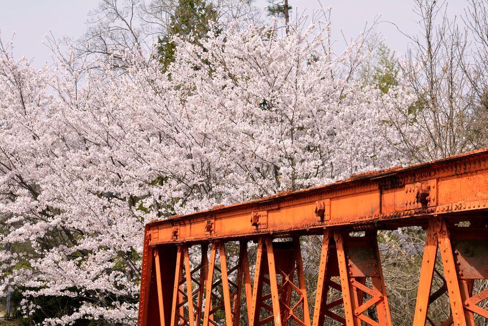 六郷川橋梁付近の桜_e0373930_20190309.jpg