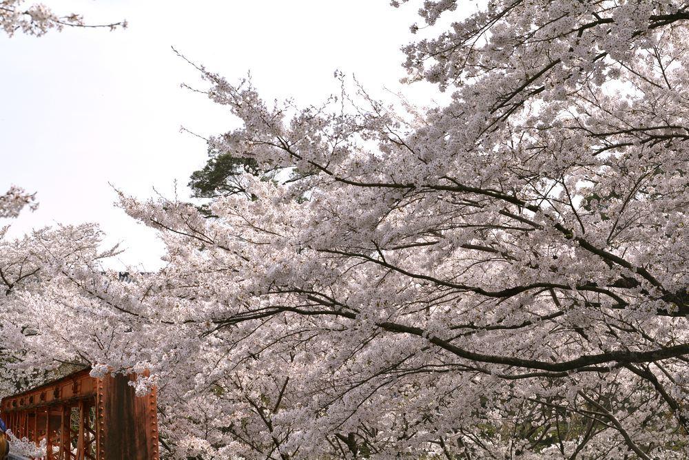 六郷川橋梁付近の桜_e0373930_20190317.jpg