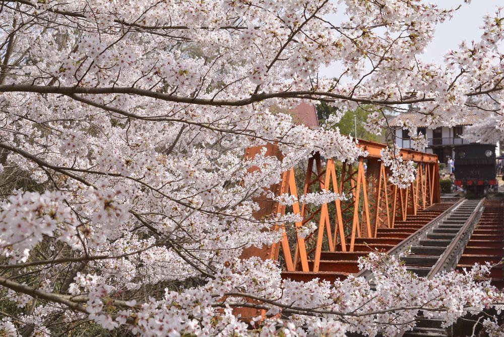 六郷川橋梁付近の桜_e0373930_20190359.jpg