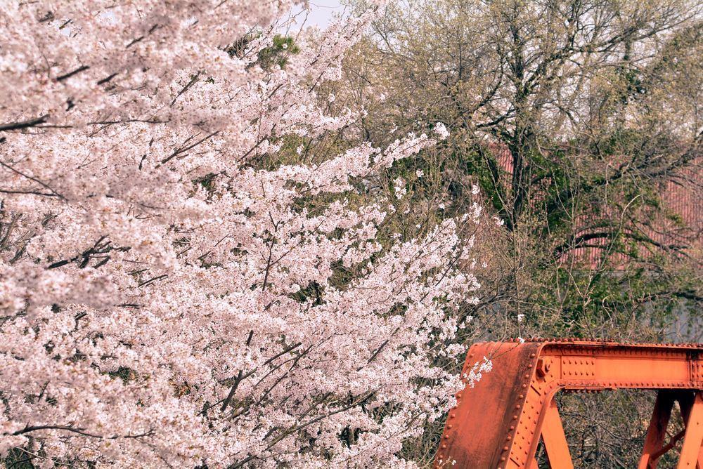 六郷川橋梁付近の桜_e0373930_20190444.jpg