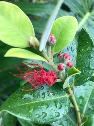 雨粒に濡れながら レフアが開いてきました✨✨ お天気だったり雨だったりするので 植物たちはいい感じに元気!!_b0181141_15485294.jpg