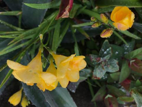 雨粒に濡れながら レフアが開いてきました✨✨ お天気だったり雨だったりするので 植物たちはいい感じに元気!!_b0181141_15490434.jpg