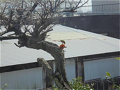 梅の木のみかん_c0087349_19453121.jpg