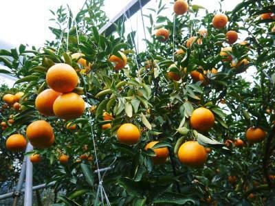 究極の柑橘「せとか」 令和2年度も大好評でリピート購入続出!今期発送予定分はまもなくカウントダウン!_a0254656_16514930.jpg