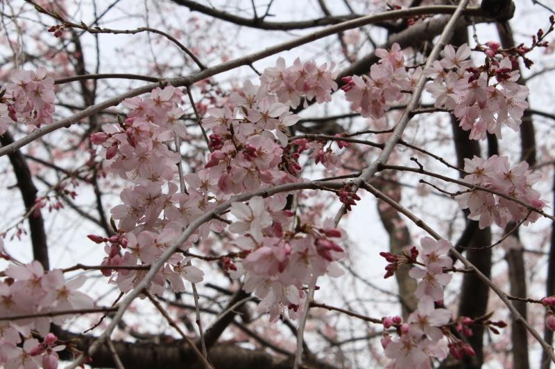 3月22日 有栖川宮旧邸の枝垂桜_a0023466_16224470.jpg