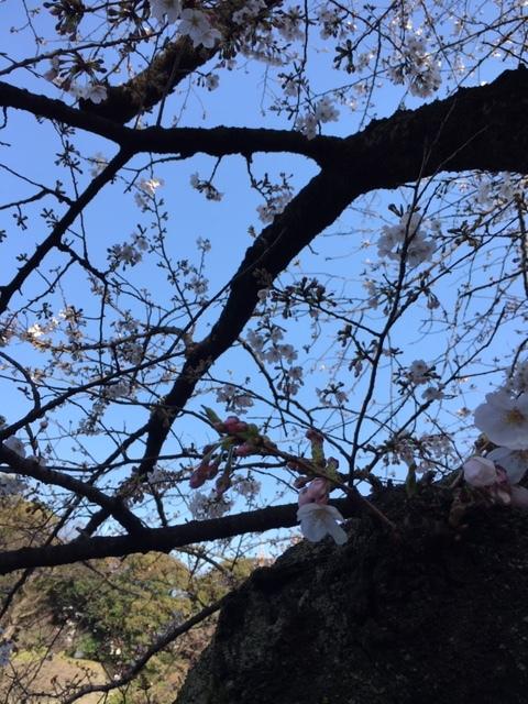 今年も桜は・・・_c0228466_18385443.jpg