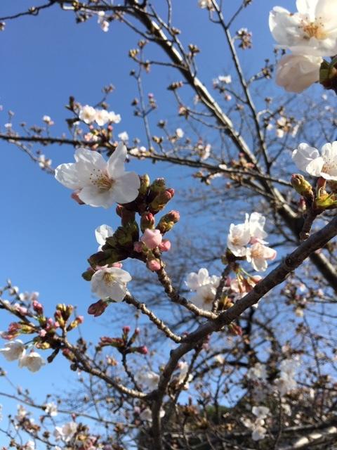 今年も桜は・・・_c0228466_18402207.jpg