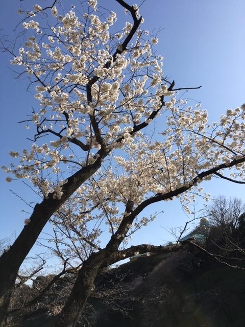 今年も桜は・・・_c0228466_18402800.jpg