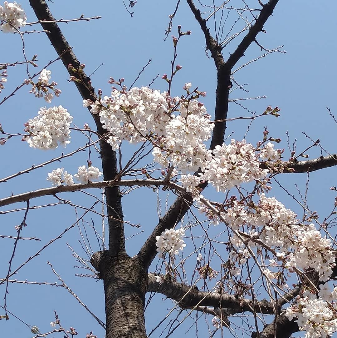 桜の季節_b0224770_21574314.jpg