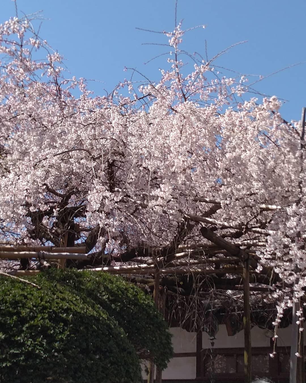 桜の季節_b0224770_21574832.jpg