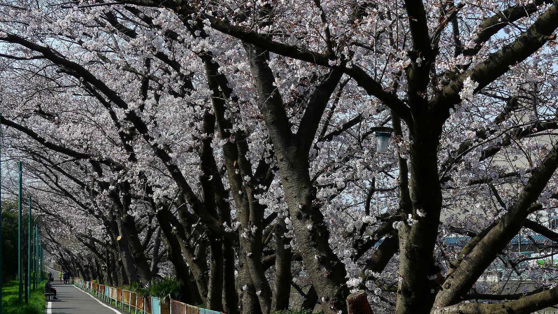 さくら咲く 【 2020 3/22(日)  】_a0185081_19244506.jpg