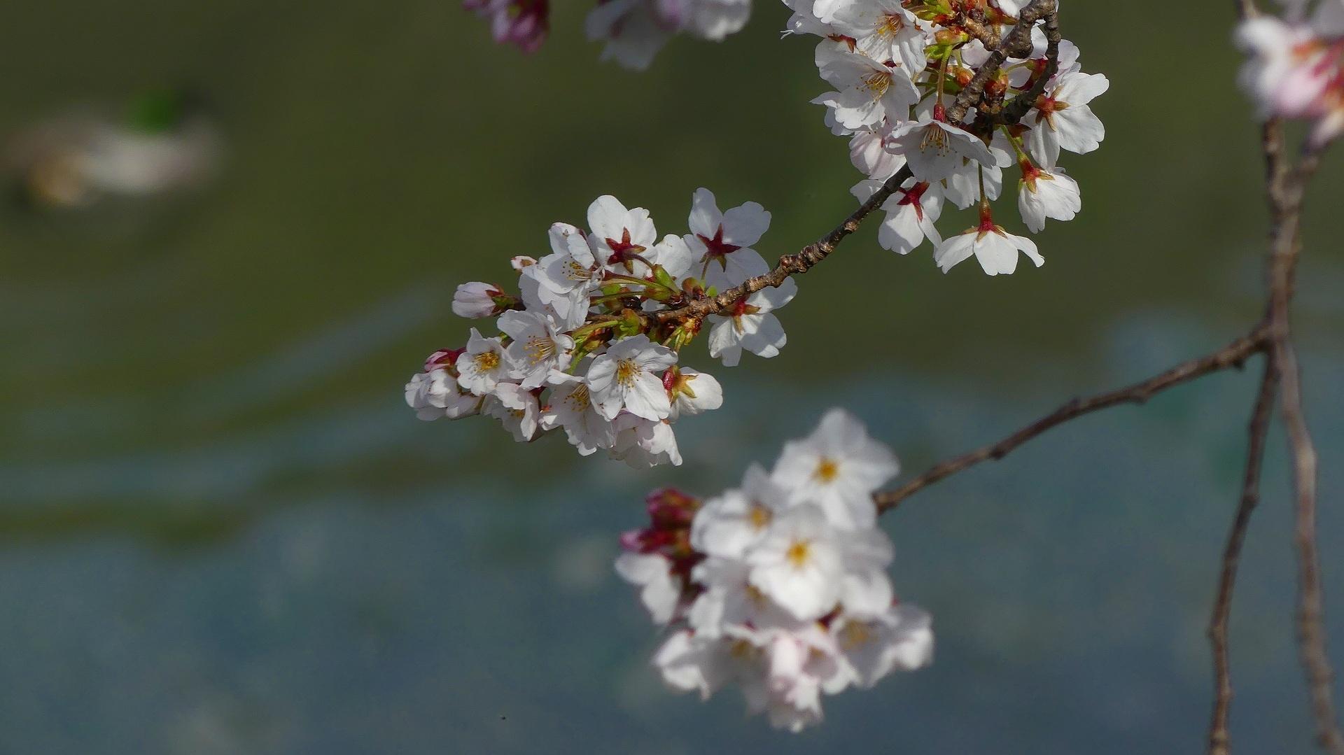 さくら咲く 【 2020 3/22(日)  】_a0185081_19250178.jpg