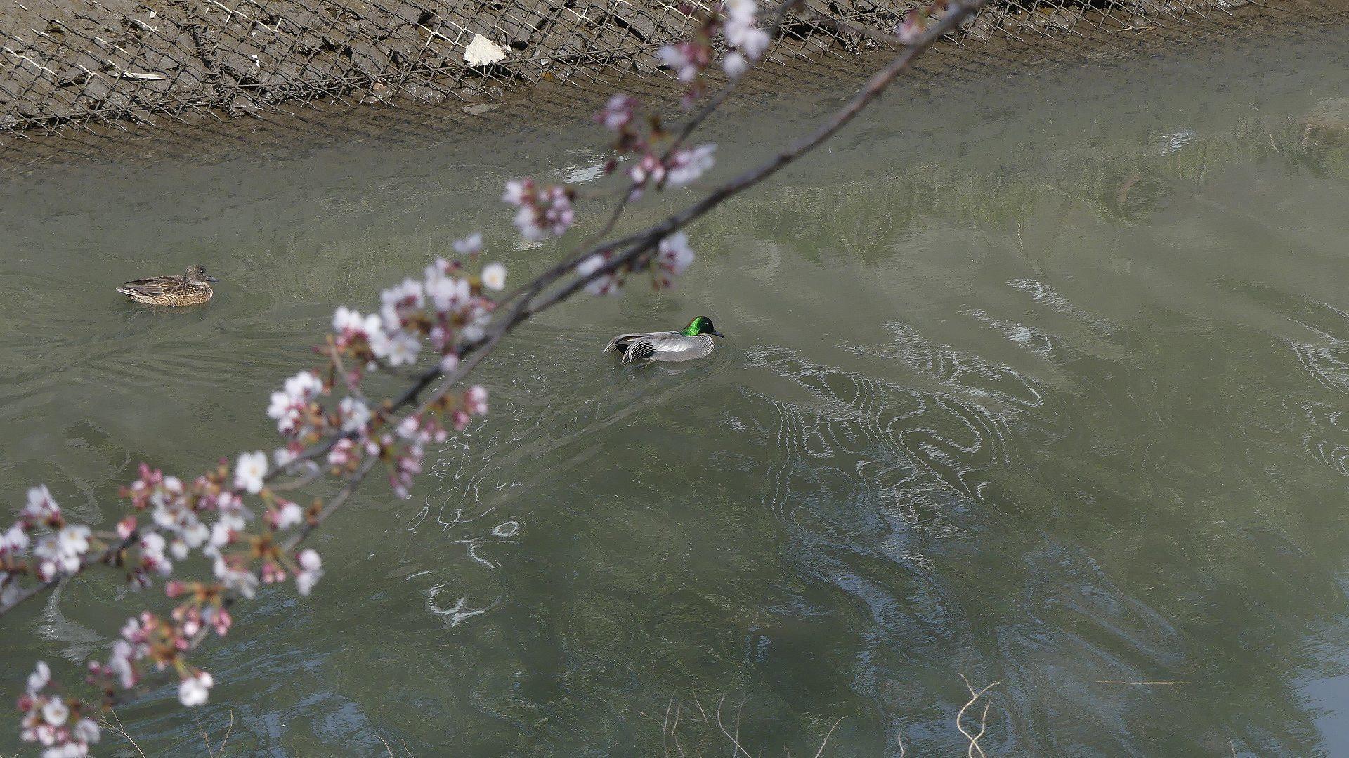 さくら咲く 【 2020 3/22(日)  】_a0185081_19473774.jpg