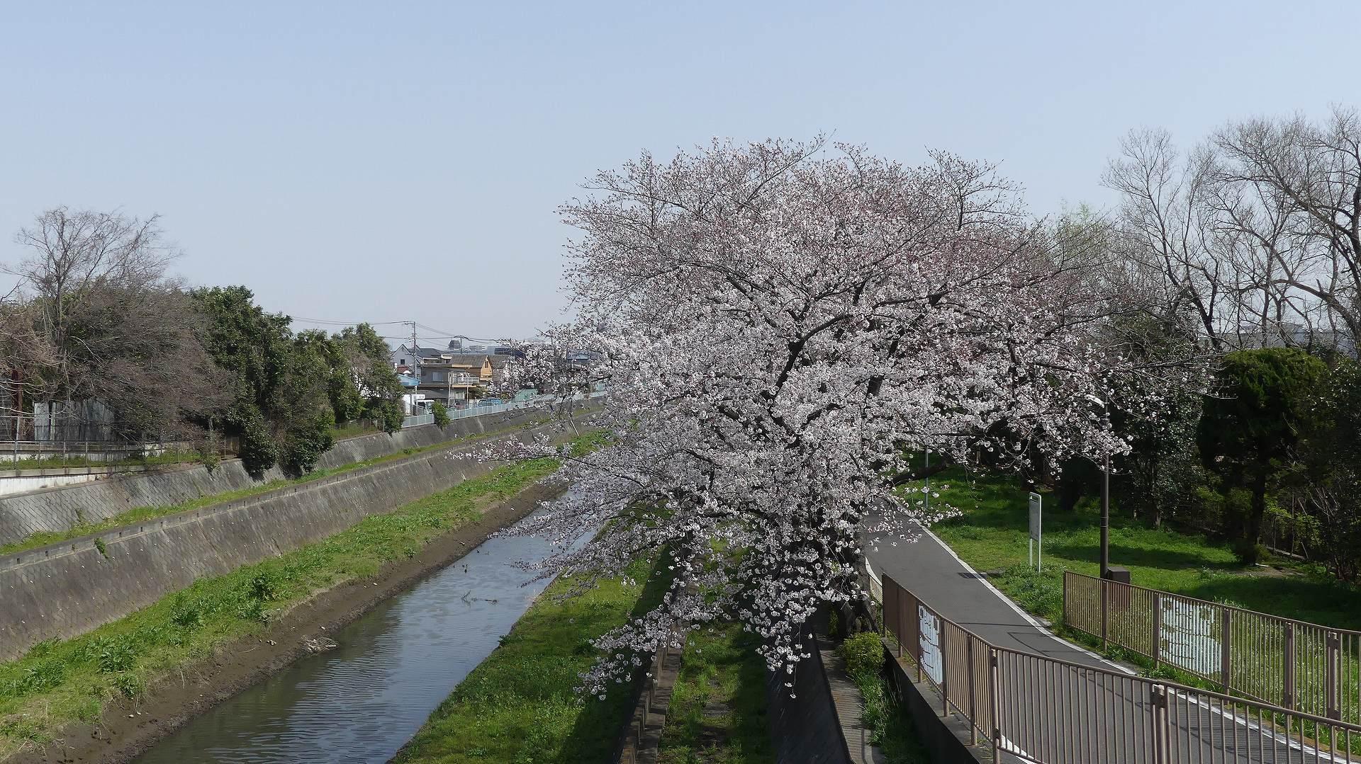 さくら咲く 【 2020 3/22(日)  】_a0185081_19514574.jpg
