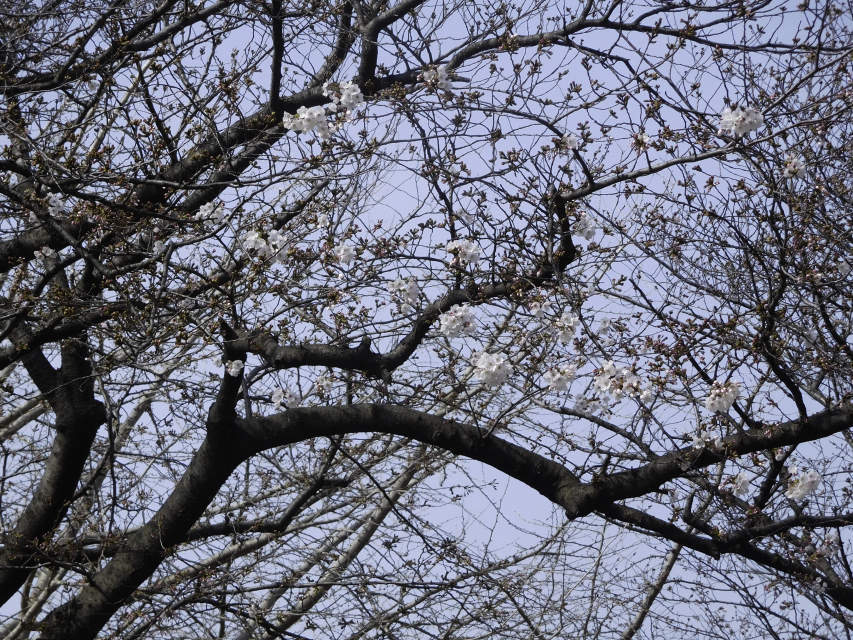 今年の公園の桜_b0120492_12472490.jpg