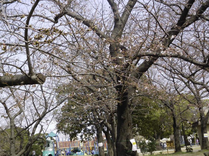 今年の公園の桜_b0120492_12472809.jpg