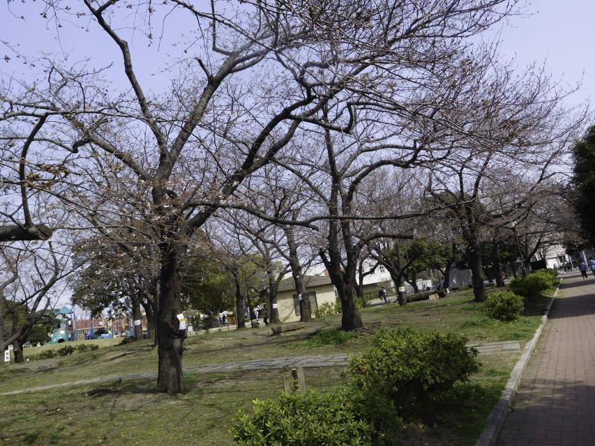 今年の公園の桜_b0120492_12473265.jpg