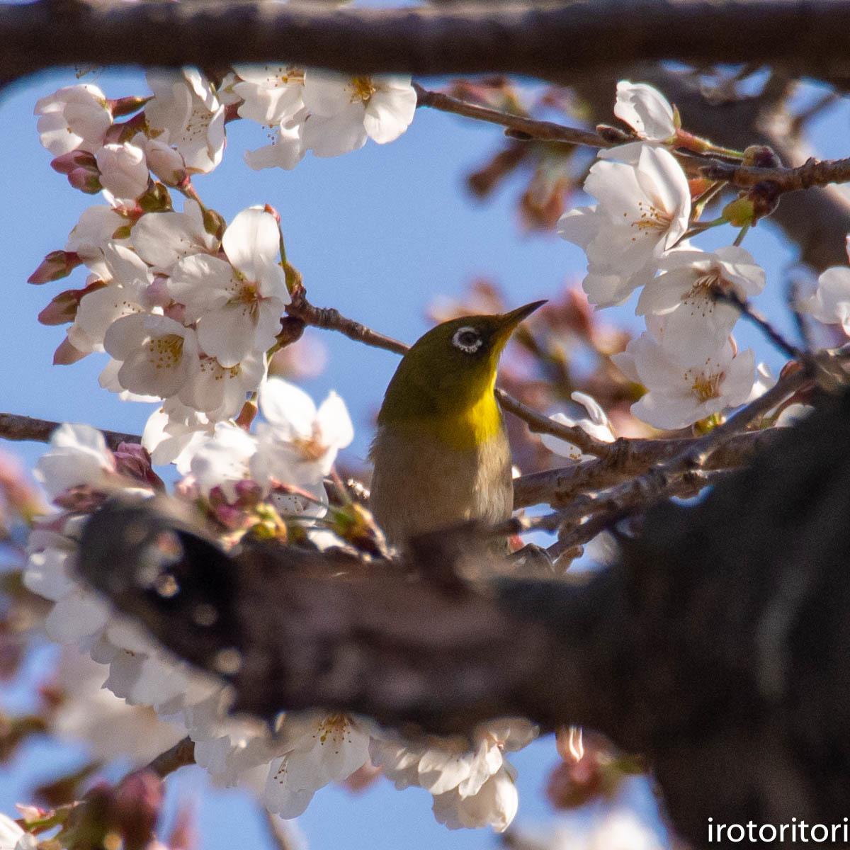桜メジロ  (メジロ)  2020/03/20_d0146592_01033572.jpg