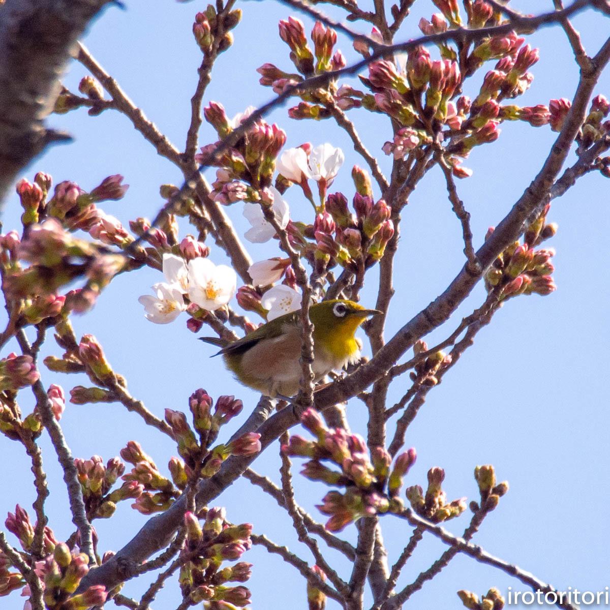 桜メジロ  (メジロ)  2020/03/20_d0146592_01044372.jpg