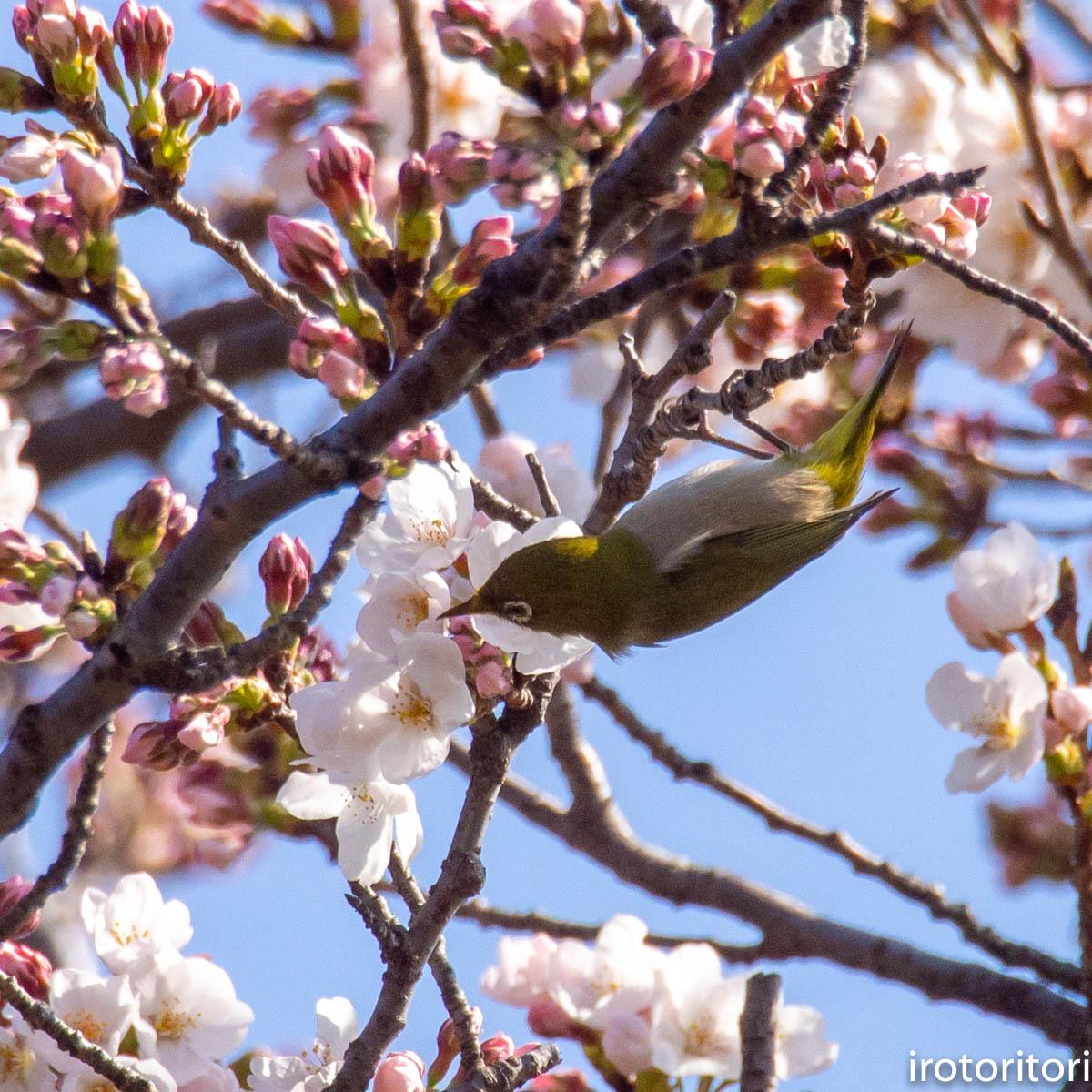 桜メジロ  (メジロ)  2020/03/20_d0146592_01061175.jpg