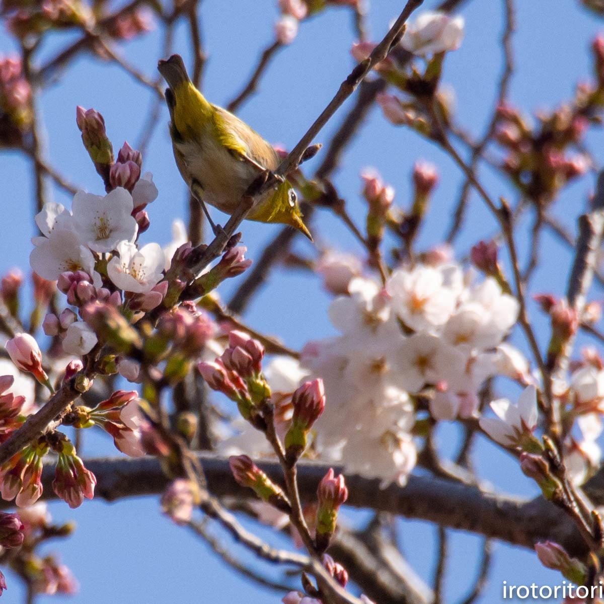 桜メジロ  (メジロ)  2020/03/20_d0146592_01062214.jpg