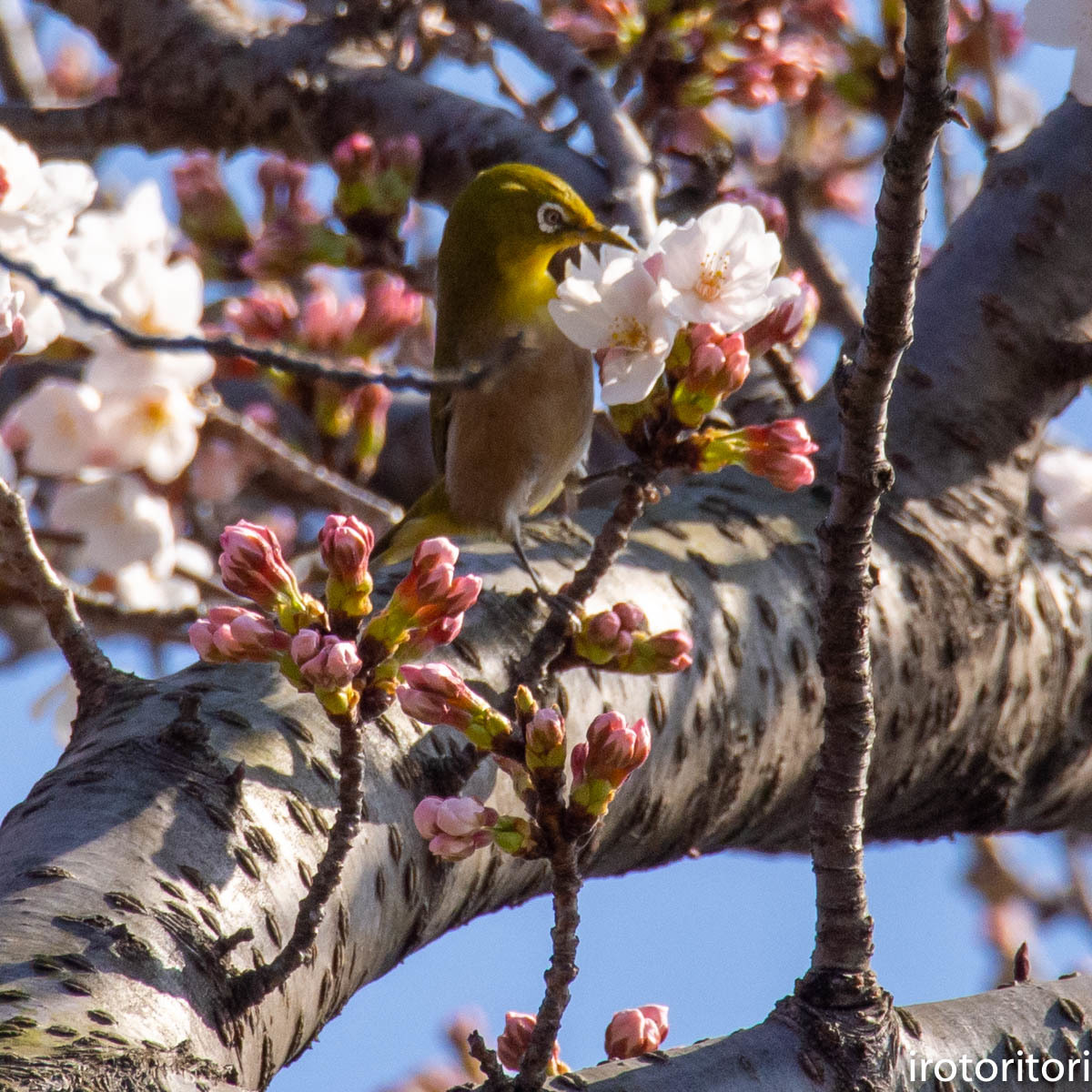 桜メジロ  (メジロ)  2020/03/20_d0146592_01064449.jpg
