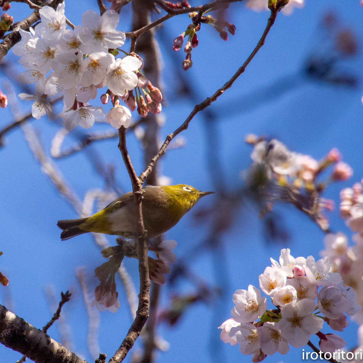 桜メジロ  (メジロ)  2020/03/20_d0146592_01065535.jpg