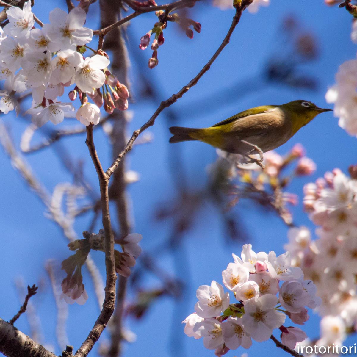 桜メジロ  (メジロ)  2020/03/20_d0146592_01073468.jpg