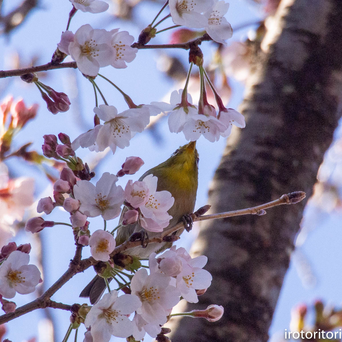 桜メジロ  (メジロ)  2020/03/20_d0146592_01074411.jpg