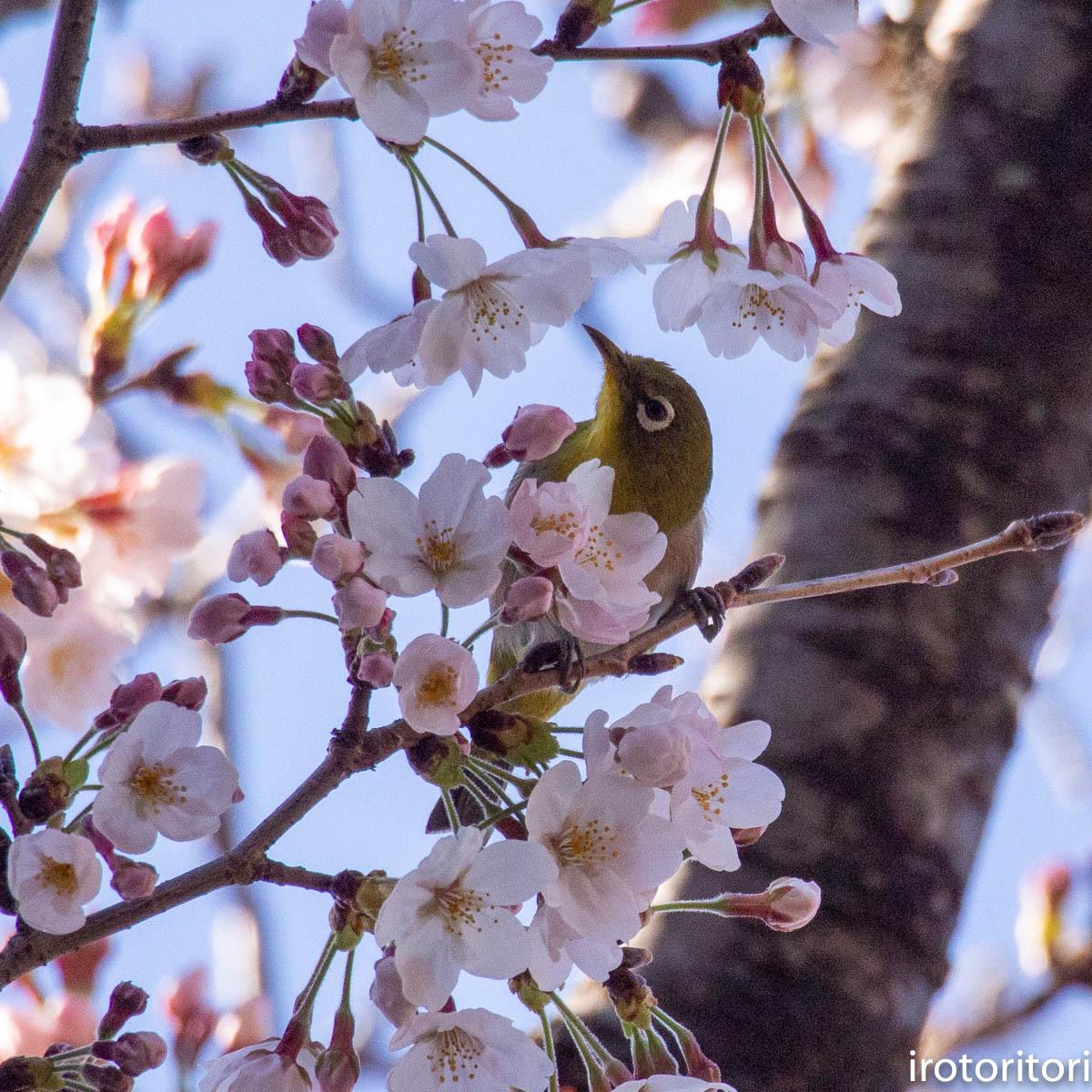 桜メジロ  (メジロ)  2020/03/20_d0146592_01075966.jpg