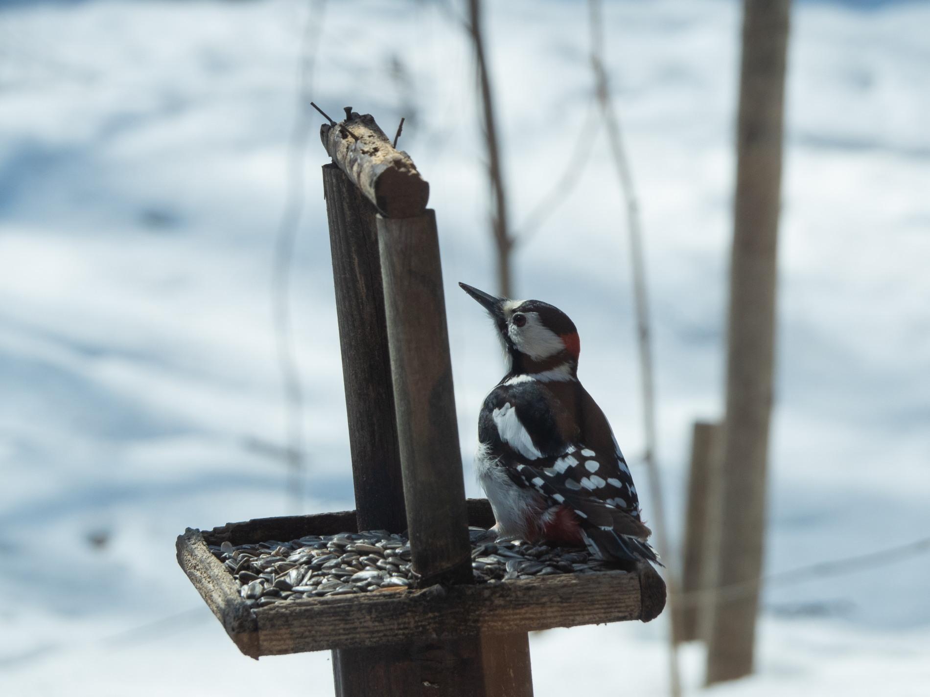 春の陽気が全開!ペンギンみたいな?アカゲラさんも日向ぼっこ!_f0276498_22031072.jpg