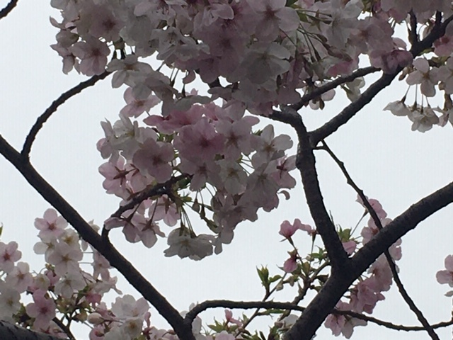 sakurasaku /  ten_d0135801_21185936.jpg