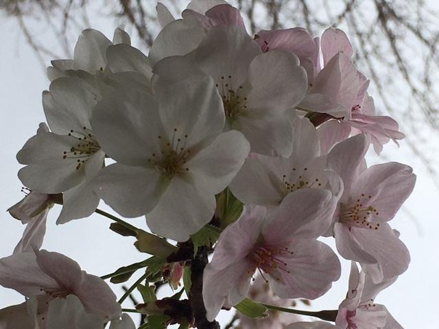 sakurasaku /  ten_d0135801_21190884.jpg