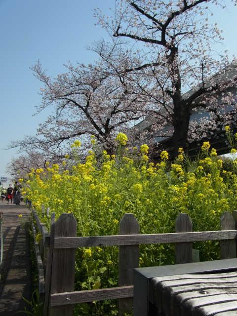 昨日の隅田川沿いの桜_a0246407_06185121.jpg