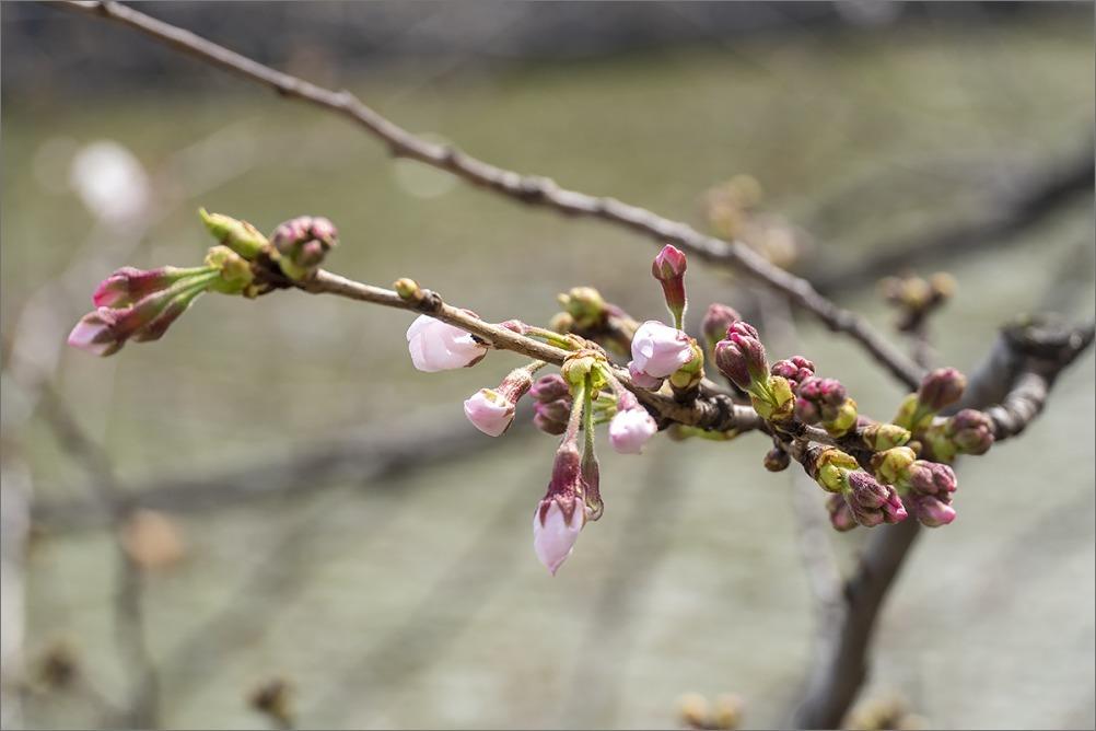 東京桜満開宣言  3月22日(日) 6859_b0069507_00054441.jpg