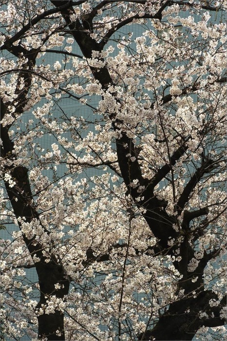 東京桜満開宣言  3月22日(日) 6859_b0069507_00054457.jpg