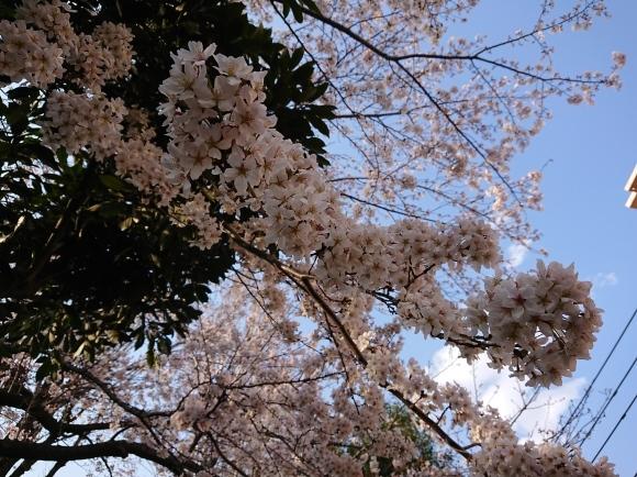 3/21,22 東京の桜2020Vol.1_b0042308_15045995.jpg