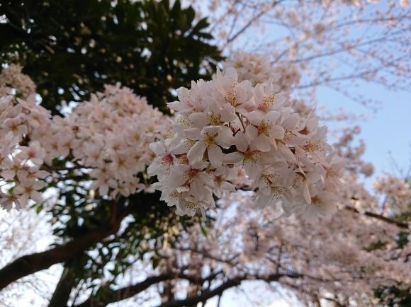 3/21,22 東京の桜2020Vol.1_b0042308_15050042.jpg