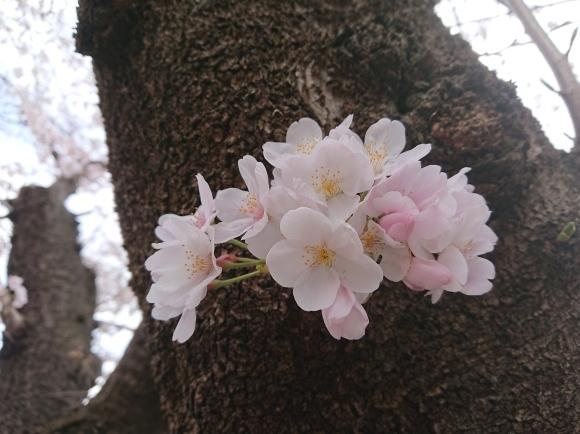3/21,22 東京の桜2020Vol.1_b0042308_15050094.jpg